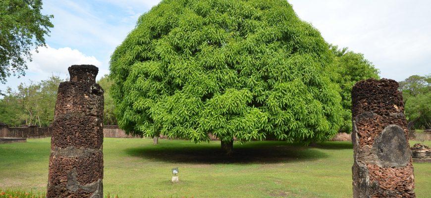 mango-tree-1581750_1920